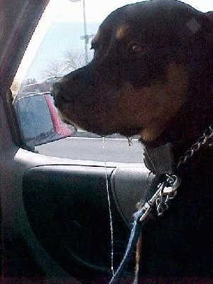 Maggie the Rottweiler is sitting in the passenger side of a vehicle and there is a line of clear drool from her lip to the car seat.