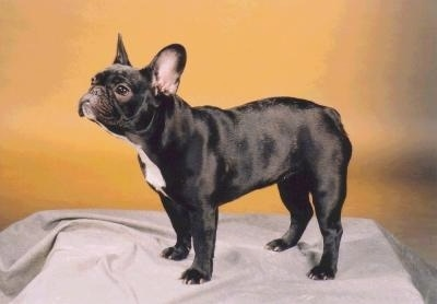Side profile - A black with white French Bulldog is standing on a stand with a grey blanket over it and a yellow wall behind it.