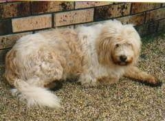 A longhaired tan and cream German Sheeppoodle is laying on in dirt in front of a brick wall