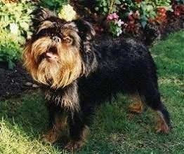A small black and tan dog is standing in grass with a flower bed behind it. The dogs hair is longer around the head than it is on the body.