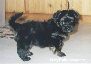 A black with tan Havanese puppy is standing on a white tiled floor with a wooden cabinet behind it.