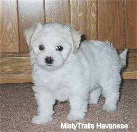 A white Havanese puppy is standing on a tan carpet in front of a wooden cabinet