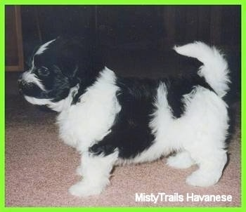 Left Profile - A white and black Havanese puppy is standing on a tan carpet. There is a lime green border around the image.