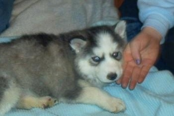 The right side of a pudgy, fluffy, thick coated, grey and white Siberian Husky puppy is laying across a light blue surface, it is looking forward and there is a persons hand on the side of its face.