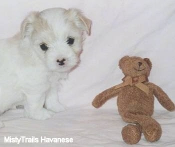 A white Havanese puppy is sitting in front of a brown teddy bear