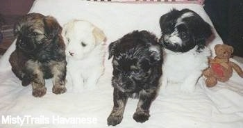 Four Havanese puppies are sitting on a white backdrop with a brown teddy bear to the right of them.