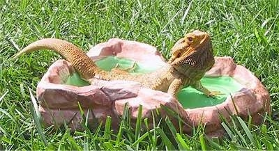 A Bearded Dragon is outside in grass laying in a rock pool.