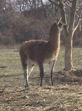 A brown with white Llama is standing in grass and next to a tree. It is looking to the right.