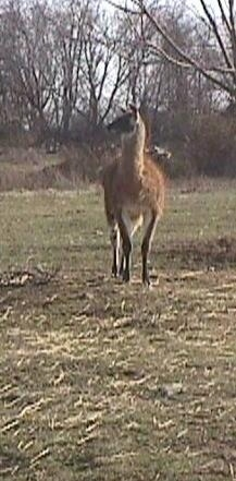 Front view - A brown with white Llama is trotting down a field. It is looking to the left.