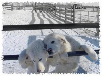Two white Maremma Sheepdogs are jumped up at a  metal gate of a wooden farm fence.