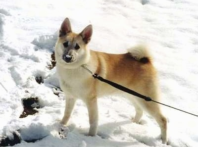 Side view - A perk-eared, tan with white Norwegian Buhund dog is standing in snow with its tail curled up over its back facing the camera.