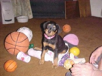 A black and tan Rottweiler puppy is sitting on top of a doll and it is looking forward, its head is slightly tilted to the right. There are various sized toy balls all around it.