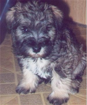 Front side view - A fluffy black, grey and white Schnoodle puppy is sitting across a kitchen floor, it is looking down and to the right.