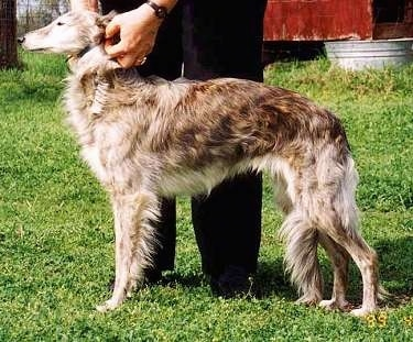 Left Profile - A Silken Windhound is standing in grass and it is looking to the left. THere is a person behind it pinching onto the dogs collar. The dog has a wavy coat, a long muzzle and a high arch.