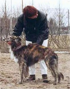 Left Profile - A red brindle Silken Windhound is standing in dirt. There is a person behind it who has his hands under the chin and on the side of the dog. The dog has a pointy muzzle and a long tail that is hanging down low.