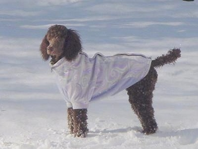 The left side of a brown Standard Poodle dog wearing a light purple jacket. It is standing in snow and it is looking forward.
