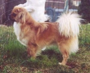 Left Profile - A brown with white and black Tibetan Spaniel dog standing across a grass surface and it is looking out of the fence that it is in. The dog has a brown body with white hair on the underside of its tail that is curled up and fanned out over its back.