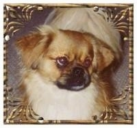 Close up - Topdown view of a brown with white and black Tibetan Spaniel that is standing on a carpeted surface and it is looking to the right. There is a golden floral border around the image. The dog has small fold over ears and large round eyes.