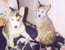 Two Wolf Hybrid puppies are sitting on a blanket and behind one of them is a person sitting.