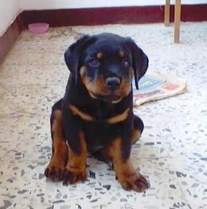 Front view - A small black and tan Rottweiler puppy is sitting on a white marble floor and it is looking forward. There is a newspaper on the floor behind it.