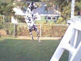 Abby the Dalmatian is jumping  a few feet in the air. There is a pool behind her and a house in front of her