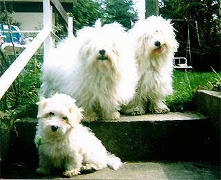 Two adult Coton De Tulears are sitting at the top of a set of outside steps. There is a Coton De Tulear puppy sitting one step down from them.