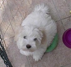 Coton De Tulear Puppy is sitting on a green frisbee and looking up