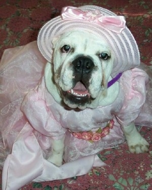 Miss Angel Rose the Bulldog is wearing a light pink wedding dress and a hat. It is also sitting on a carpet and looking up at the camera holder with its mouth open
