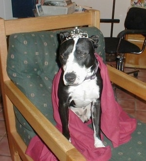 A black and white Pit Bull is sitting on a chair in a red cape dress wearing a tiara