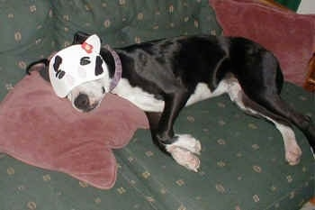 A Pit Bull is sleeping on a green couch with its head on a maroon pillow wearing a cat mask