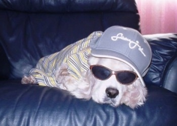 Shabbarank the white cream Cocker Spaniel is sleeping on a black leather couch with a hat and sunglasses on