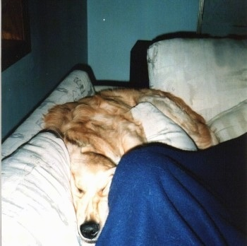 A Golden Retriever is squeezing in between a couch and a person in blue covers next to the dog.