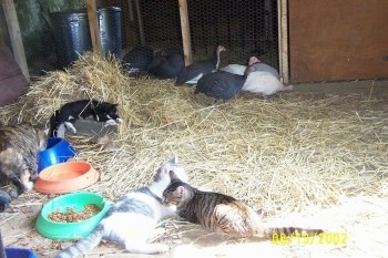 Three cats are laying in hay. In the background there are seven guinea fowl standing in front of a coop door.