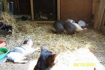 Two cats are laying in hay and looking at five guinea fowl that are standing in front of a coop door.
