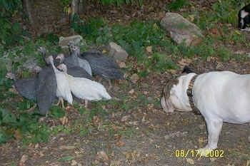 A flock of guineas are standing in a group in a yard near a bunch of trees. There is a white with brown Bulldog stretching forward and looking at the guinea fowl