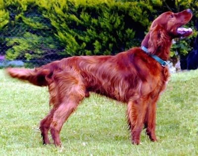 Side view - A happy looking red Irish Setter is standing in grass. Its mouth is open and it is looking up