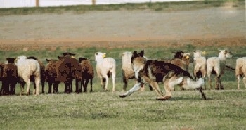 A German Shepherd is running around behind a herd of sheep out in a field of grass.