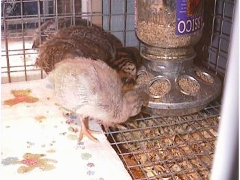 Three keets are eating food from the food dispenser inside of a wire cage