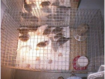 View from the top - All the keets are standing on a paper towel and in front of a mirror. The cage is lined with paper towels up to the food and water dispencers, which are sitting directly on the wire cage to cut back on the mess.