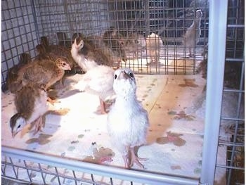 A lot of keets in a cage. One keet is standing on a paper towel at the front of the cage looking up with its head in the air.