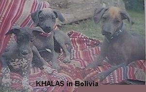 Three Hairless Khala puppies are laying on a maroon blanket outside