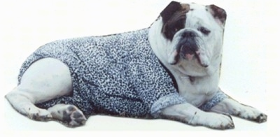 Mugzy the Bulldog is laying down and wearing a shirt that is white, but covered in black dots