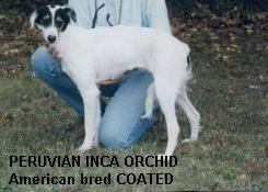 Side view - A coated white with black Peruvian Inca Orchid dog is standing over a persons leg that is kneeling behind it. It is looking forward.