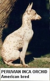 Right Profile - A hairless brown and white Peruvian Inca Orchid is sitting in grass and it is looking to the right.