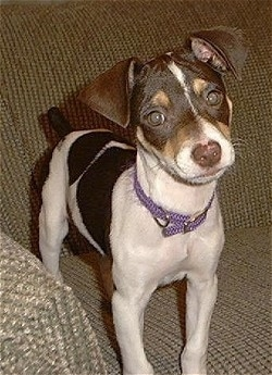 Front side view - A white and black with tan Rat Terrier puppy is standing on a couch and it is looking forward. Its head is slightly tilted to the left and it has triangular ears that fold over to the front.