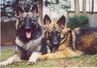 Two Shiloh Shepherd dogs, a gray and black and a tan and black, are laying across a grass surface and they are looking forward. The left most Shiloh Shepherd has its mouth open and tongue out.