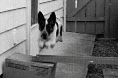 Black and White photo of Sydney the Australian Blue Heeler is jumping over a metal rod being held up by a box