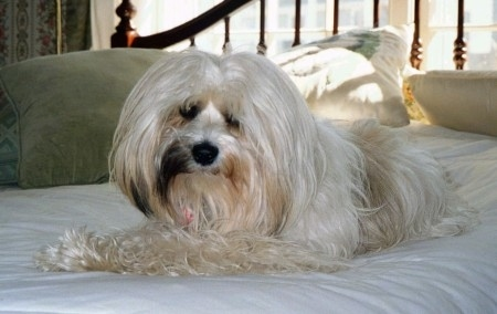 A long coated, white with tan and black Tibetan Terrier is laying across a bed, it is looking forward and its head is slightly tilted to the right. The dog has a black nose and dark eyes.