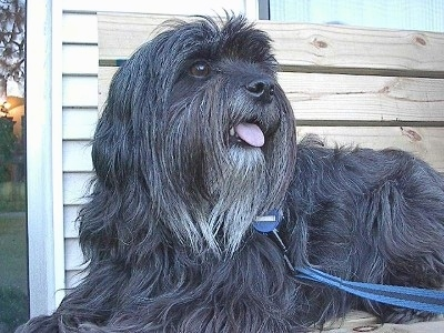 The front left side of a silver-gray Tibetan Terrier dog laying across a wooden bench looking up and to the right with its mouth open and its tongue sticking out. The dog has a long coat, a black noes, large round eyes and a long beard.