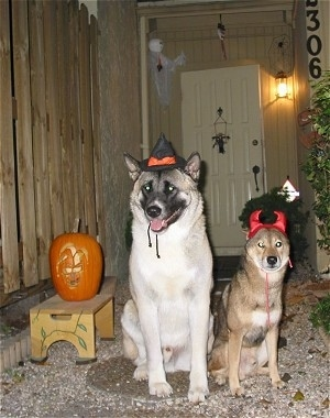 An Akita and A Shiba Inu are sitting in front of a house next to a jack-o'-lantern. The Akita Inu is wearing a witch hat and the Shiba Inu is wearing devil horns